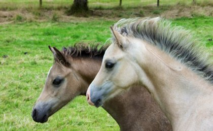 The lighter coloured foal is a colt out of Sianwood Bayleaf. The darker foal is a filly out of Sianwood Antonia
